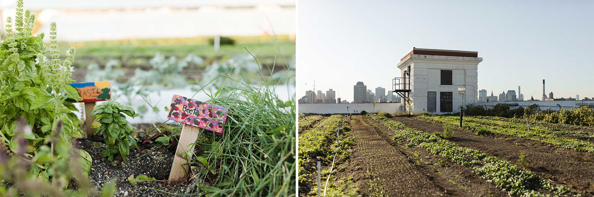 On the left, signs marking beet plants and basil plants. On the right, rows of seedlings in a rooftop garden.