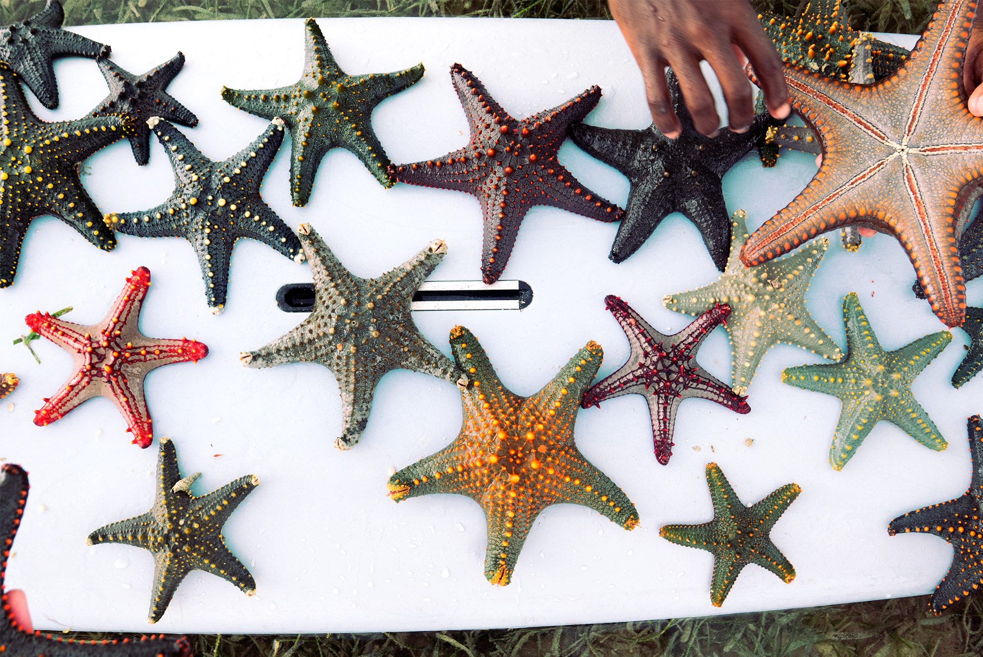 Many colorful starfish