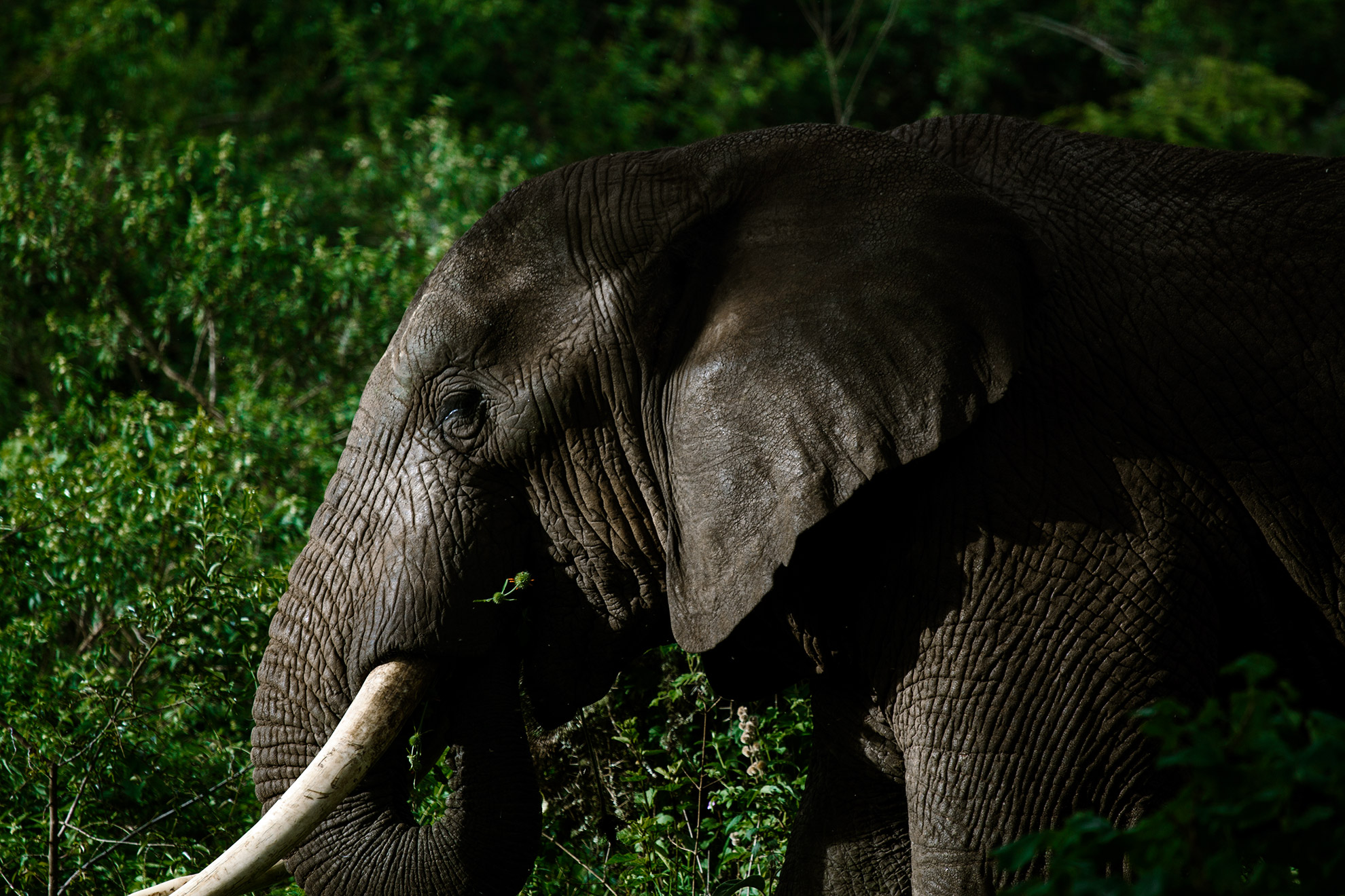 Close-up shot of an elephant