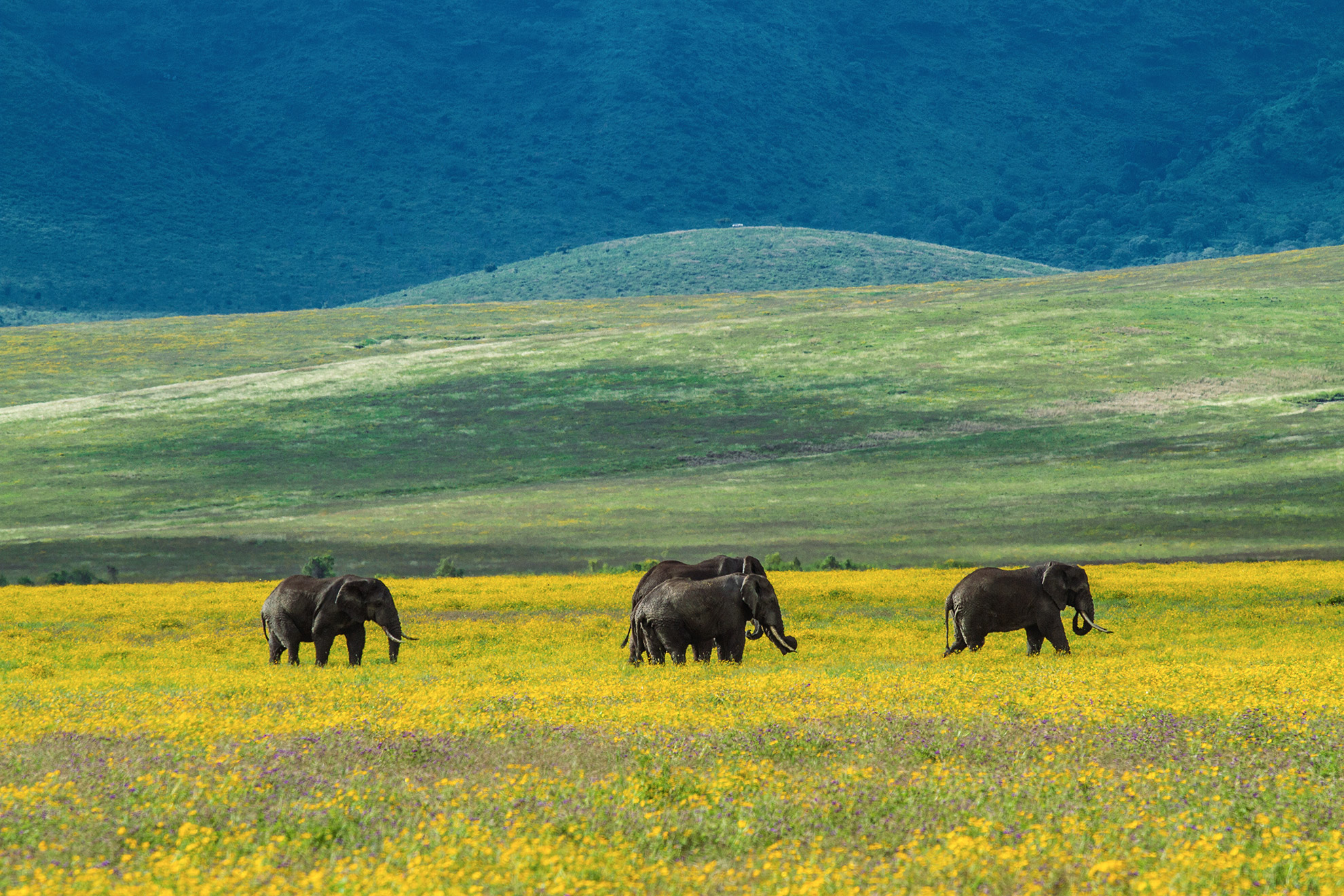 Several elephants roaming an open field